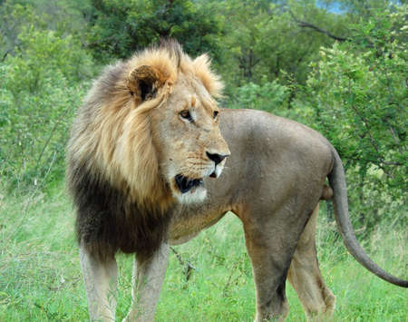 Wild male lion (Panthera leo) in Africa. photo