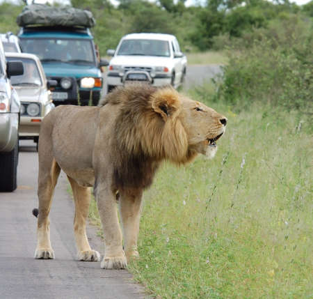 Wild male lion (Panthera leo) in the road an causing a traffick jam. photo