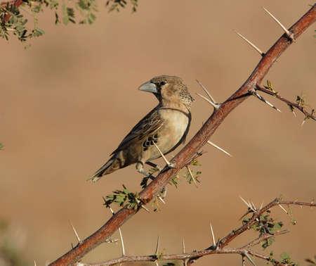 sociable: Un tessitore socievole, un uccello nel deserto, il parco transfrontaliero di Kgalgadi in Sudafrica.