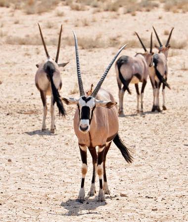 kgalagadi: Male Gemsbok Antelope in the Kgalagadi Transfrontier Park, Southern Africa.