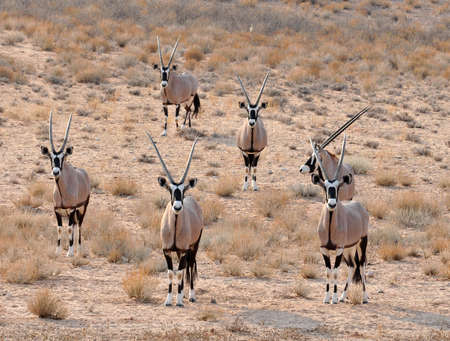 Gemsbok Antelope in the Kgalagadi Transfrontier Park, Southern Africa. photo