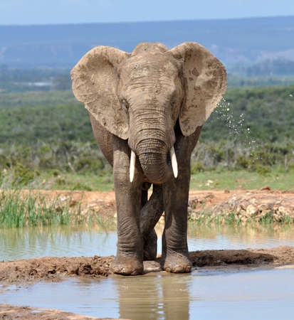 expeditions: An African Elephant in the Addo Park, South Africa.