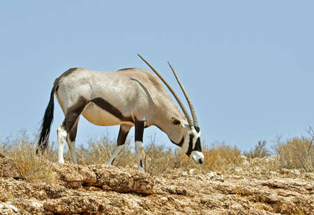 Female Gemsbok Antelope in the Kgalagadi Transfrontier Park, Southern Africa. photo