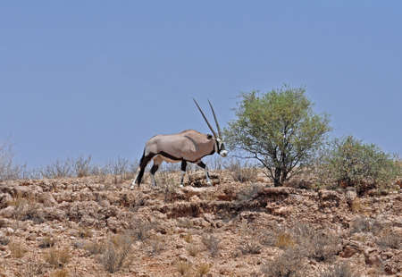 Male Gemsbok Antelope in the Kgalagadi Transfrontier Park, Southern Africa. photo