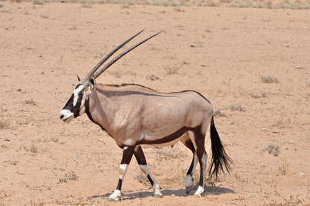 grazer: Male Gemsbok Antelope in the Kgalagadi Transfrontier Park, Southern Africa.