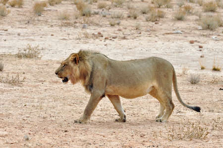 kgalagadi: Lion in the Kgalagadi Transfrontier Park, Kalahari Desert, South Africa.