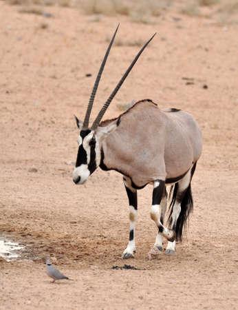 herbivore natural: Male Gemsbok Antelope in the Kgalagadi Transfrontier Park, Southern Africa.