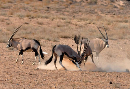 Male Gemsbok Antelope fighting in the Kgalagadi Transfrontier Park, Botswana, Southern Africa. photo