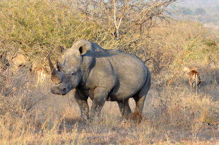 big5: A White Rhinoceros (Ceratotherium simum) in the Kruger National Park, South Africa