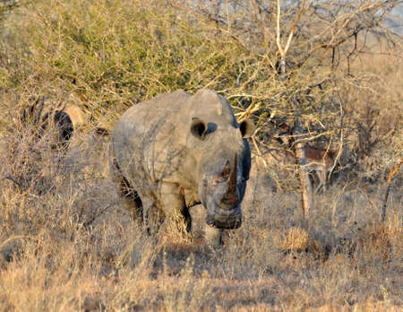 big5: A White Rhinoceros (Ceratotherium simum) in the Kruger Natioan Park, South Africa