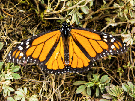 Monarch butterfly resting