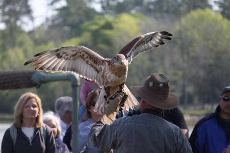 birds of prey: Ferruginous Hawk at Lake Livingston State Park for Birds of Prey Editorial