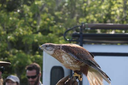 ferruginous: Ferruginous Hawk at Lake Livingston State Park for Birds of Prey Editorial