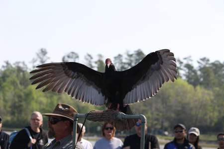 turkey vulture: Turkey Vulture at Lake Livingston State Park for Birds of Prey
