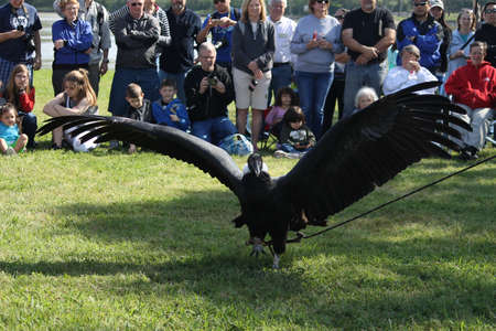 birds of prey: Andes Condor at Lake Livingston State Park for Birds of Prey