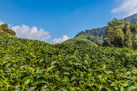 Cameron Highlands Malaysia. 10 March 2019.Tea plantations in the cameron highlands in Malaysia 스톡 콘텐츠