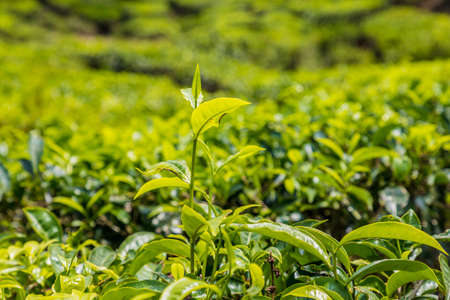 A close up view of tea in Tea plantations in the cameron highlands in Malaysia 스톡 콘텐츠