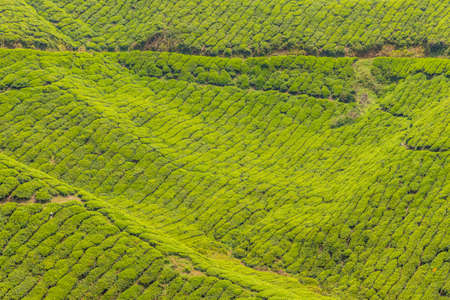 A view of Tea plantations in the cameron highlands in Malaysia 스톡 콘텐츠