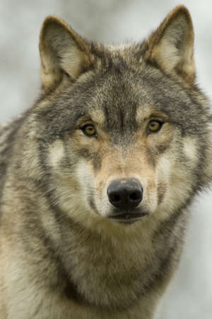 gray wolf: North American Wolf Face On Stock Photo