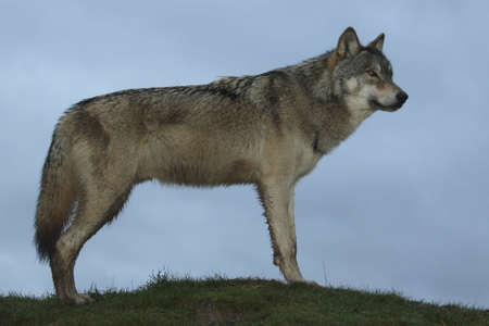 North American Wolf Standing in Profile