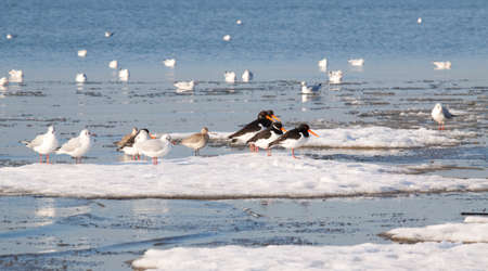 waders: Waders and gulls on sea ice in Poole Harbour, Dorset, England