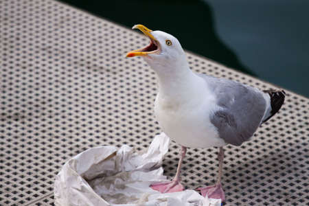 Seagull calling in between eating fish and chips Stok Fotoğraf