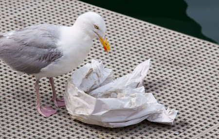 Seagull eating discarded remains of fish and chips out of paper