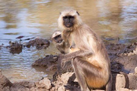 hanuman langur: Mother and baby Indian Langur monkey (Presbytis entellus) at a water hole Stock Photo
