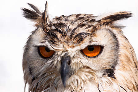 Close up portrait of an owl against a white background
