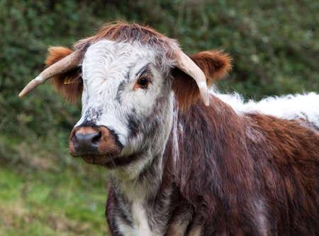 longhorn cattle: Dorset Longhorn dirigir, una de las muchas variantes de ganado de longhorn