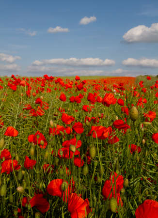Bloom of scarlet poppies in an oilseed rape field on a beautiful sunny day photo