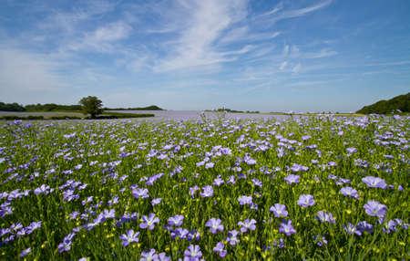Campo de las plantas de aceite de linaza o lino (Linum usitatissimum) en flor completa azul  Foto de archivo