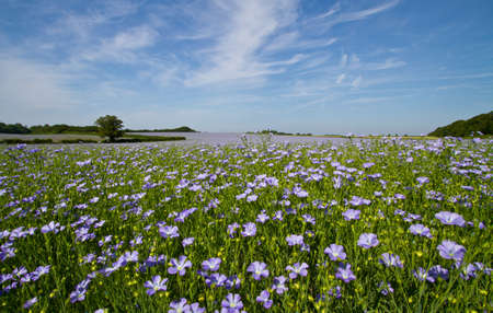 oil field: Field of linseed oil plants or flax (Linum usitatissimum)  in full blue flower Stock Photo