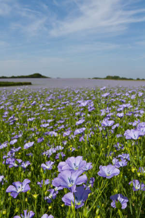 linum: Field of linseed oil plants or flax (Linum usitatissimum)  in full blue flower Stock Photo