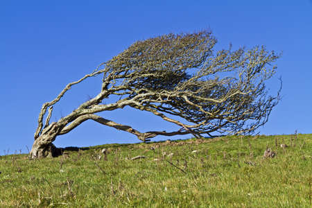 Ancient lone hawthorn tree (Crataegus monogyna),sculpted by the wind, so it is now bent over at ninety degrees photo