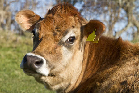 jersey cattle: Close up head shot of a Jersey Cow staring curiously at the camera Stock Photo