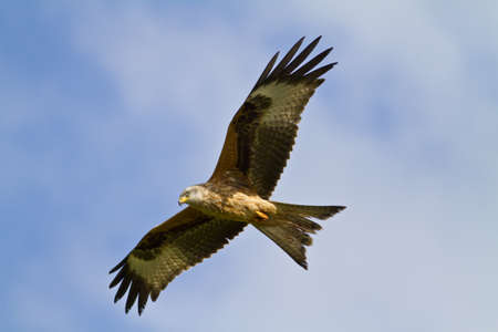 kite flying: Red kite flying in Wales