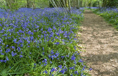 English bluebell wood in spring with dappled sunlight photo