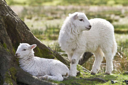 Twin lambs sheltering under a tree photo