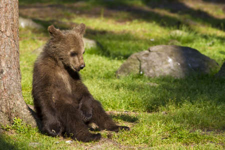 Young brown bear cub, sitting down,  relaxing in the sunshine in a Finnish forest Stok Fotoğraf