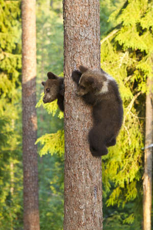Two Bear Cubs climbing a Tree