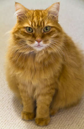 ginger haired: Male ginger long haired cat sitting facing the camera
