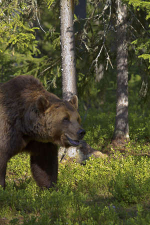 Male brown bear (Ursus Arctos) in a forest clearing photo