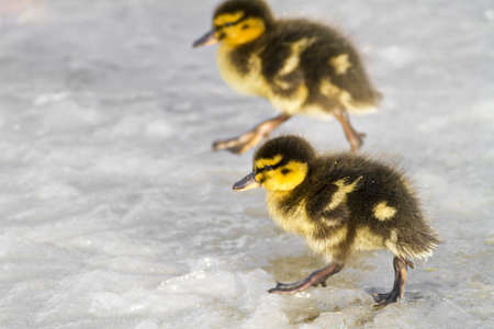 Mallard ducklings  Anas platyrhynchos   running across a frozen lake photo