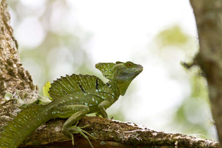 Male Emerald Basilisk, beautiful and ornate crested lizard, perched on a tree, Cano Negro, Costa Rica photo