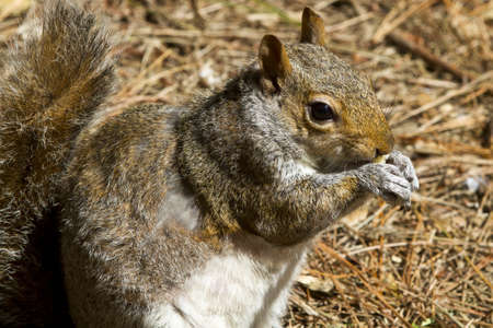 Close up of a gray squirrel (Sciurus carolinensis) eating and sitting on a bed of pine needles photo