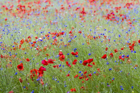 English wildflower meadow with poppies and cornflowers