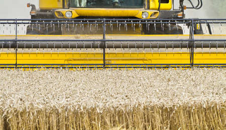 Close up of a combine harvester at work cutting cereal approaching the camera photo