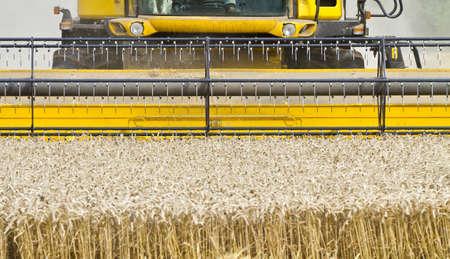 cosechadora: Primer plano de una cosechadora de cereales en el trabajo de corte acerca a la cámara