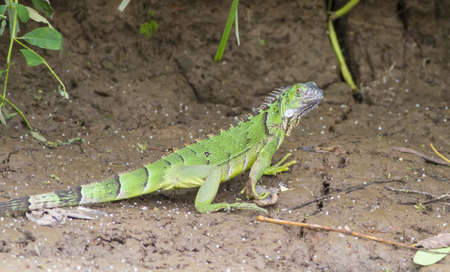 river bank: Juvenile Iguana,on a river bank, Costa Rica